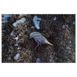 Frosted Quail – Cambrian